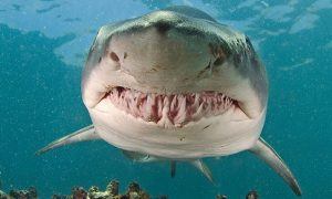 Facts About The Tiger Shark
